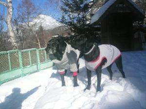我が家の愛犬モモとヴィスタ